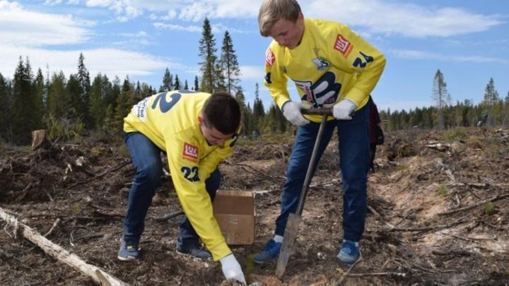 В Холмогорском районе высадили более двух с половиной тысяч молодых сосен