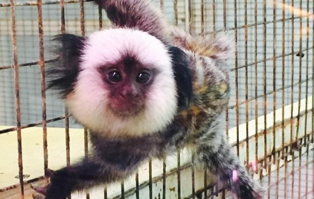 В тюменском зоопарке у обезьянок Миши и Маши родилась двойня