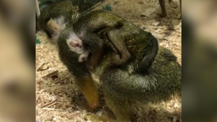 Подменённая обезьянка из челябинского зоопарка родила малыша