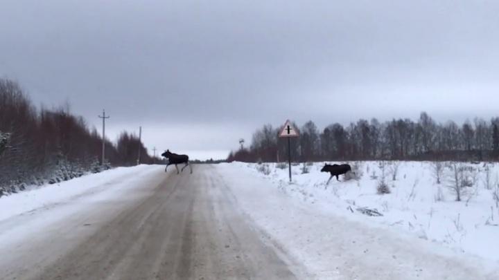 Стадо лосей перегородило путь водителям на трассе в Ярославской области