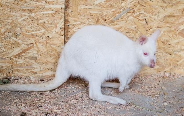 В Ростовском зоопарке умер спасенный пограничниками кенгуру Виталик