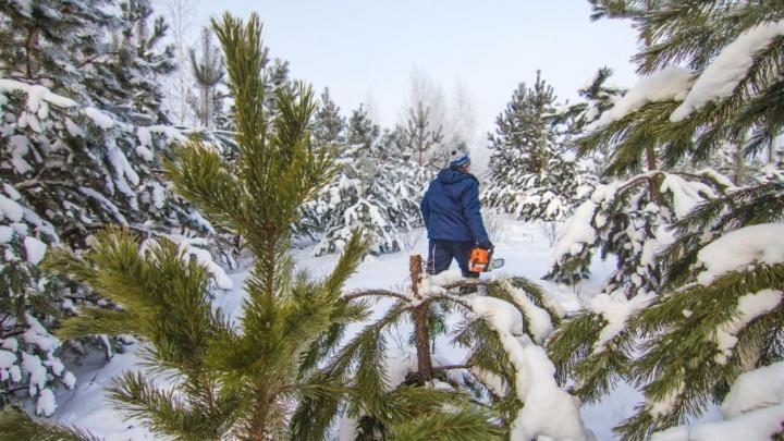 В Самарской области глава села разрешил вырубать хвойный лес за взятку в 46 тысяч рублей