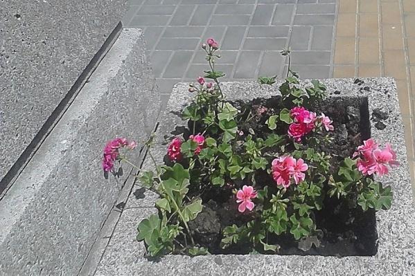Хулиганы зачастую раскапывают клумбы и рвут цветы