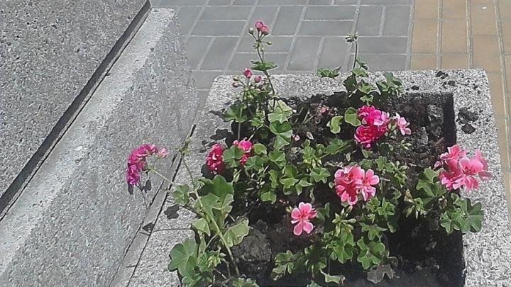 Ростовский чиновник пристыдил ростовчан за кражи цветов с клумб