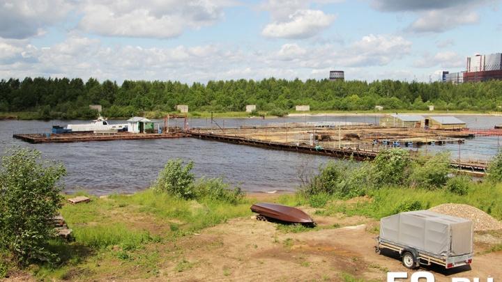 Построили мост – компенсировали рыбой: управтодор Прикамья выпустит в реку 36 тысяч щук