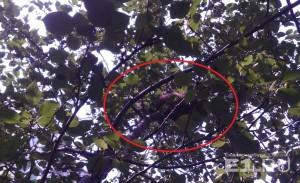 Енот спрятался на ветках яблони.
