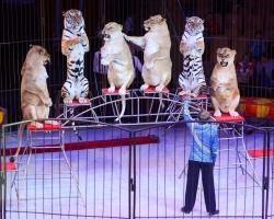 Событие 2017 года: в Пермь приехали хищные кошки, дрессированные пони и обезьянки-наездницы