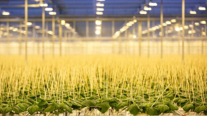 Свежие овощи круглый год: «БОТАНИКА» запустила в эксплуатацию инновационное рассадное отделение