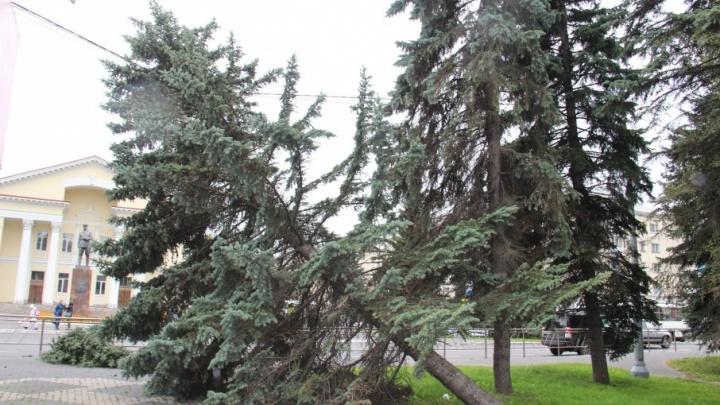 В центре Архангельска ветер повалил на провода голубую ель