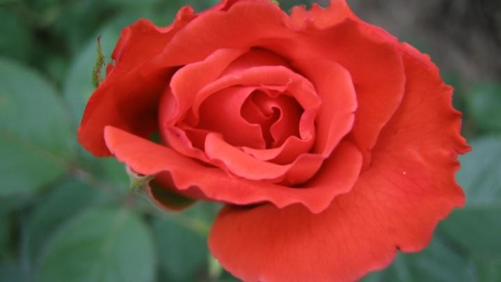 В Волгограде цветочные «клептоманы» украли 160 кустов роз