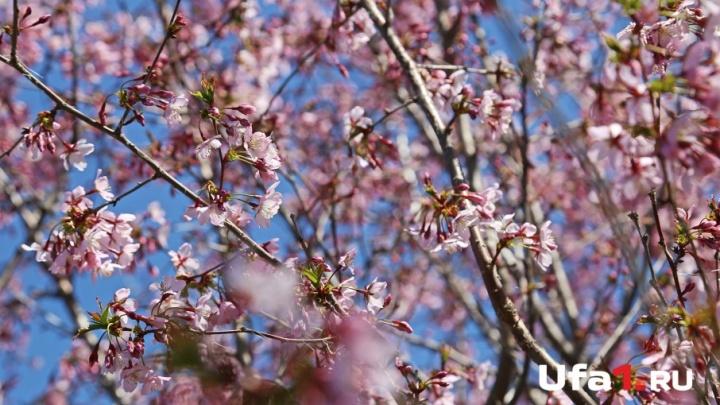 Светлого мая привет: в Уфе зацвела сакура
