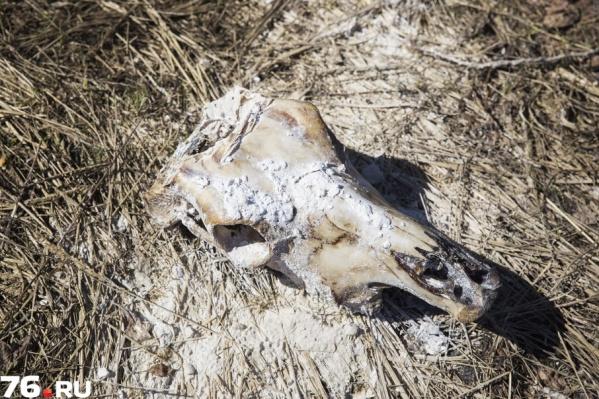 Многие жители района узнали о скотомогильнике из СМИ