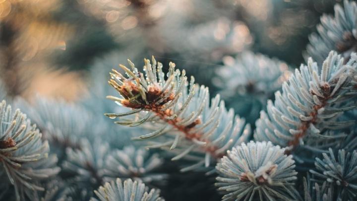 Ели, сосны, пихты: на левом берегу Дона посадят сотню хвойных деревьев