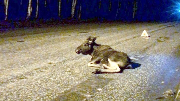 Пермские зоозащитники спасают сбитого автомобилем лосенка