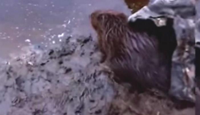 В центре Рыбинска браконьеры расставили капканы на бобров