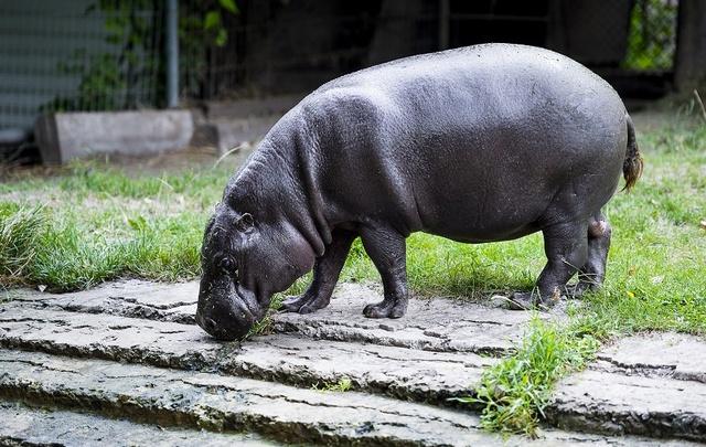 Бегемот-долгожитель празднует юбилей в ростовском зоопарке