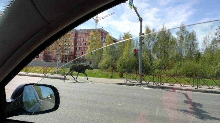 По улицам Ярославля гуляет большой лось: где его уже видели