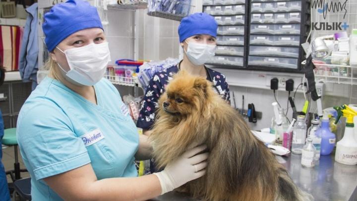 Собаку спасли курганские врачи: пермяки объездили полстраны, чтобы вылечить любимого питомца