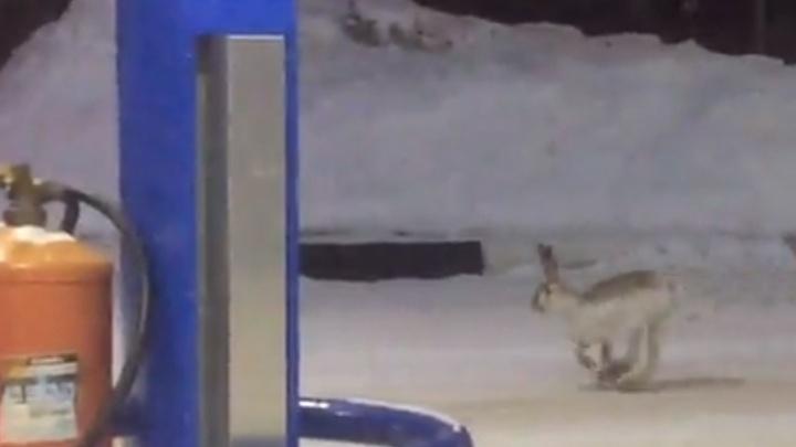 В Рыбинске на автозаправку прискакал заяц
