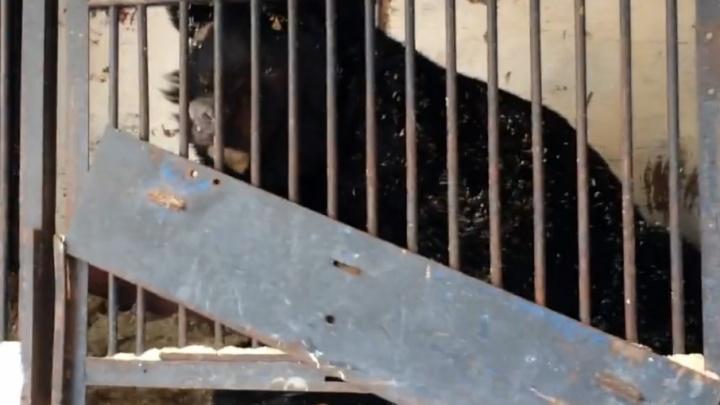 Мэрия Самары: «О брошенных медведях позаботятся сотрудники зоопарка»