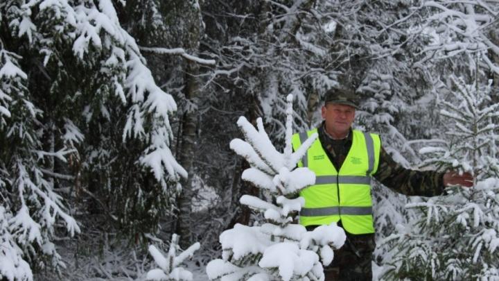 В Ярославской области начали готовить елки к Новому году