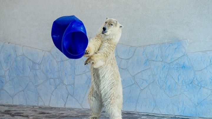 В ростовском зоопарке отметят день рождения белой медведицы