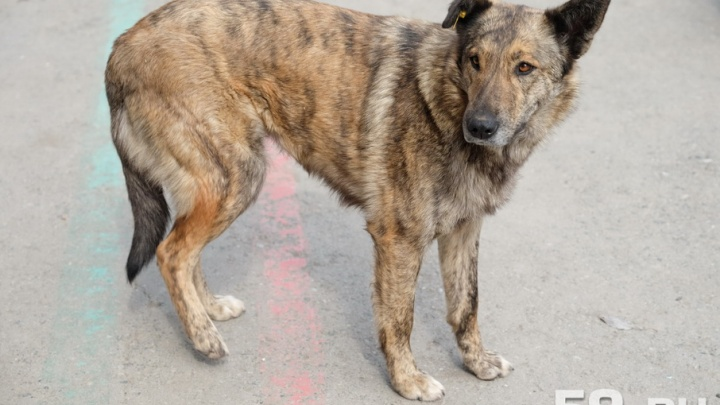 Стая диких собак задушила овец в Чусовском районе