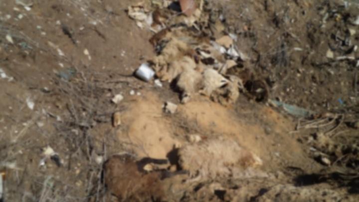 В степи под Волгоградом нашли стадо мертвых овец