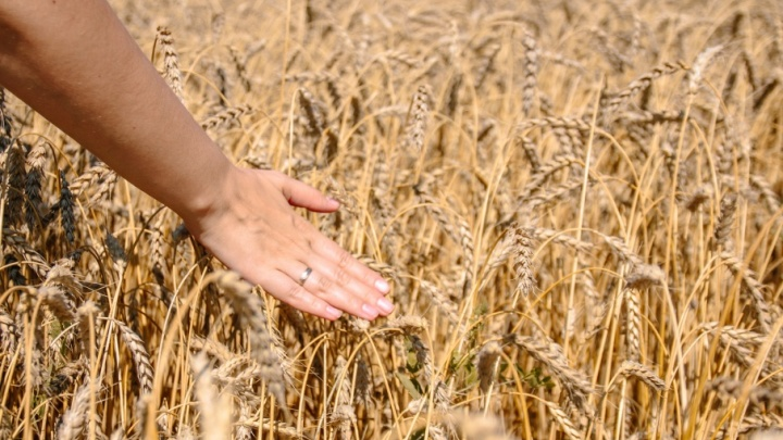 В Самарской области работникам колхоза выдавали зарплату молоком и зерном