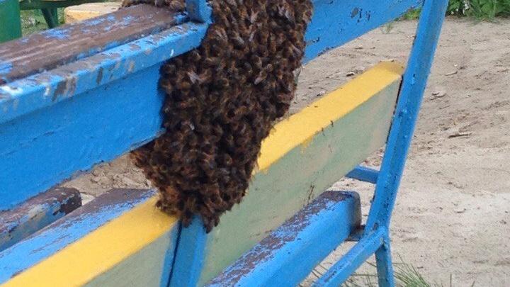 Тюменский биолог объяснила, почему рой пчел облюбовал детскую площадку на Московском тракте