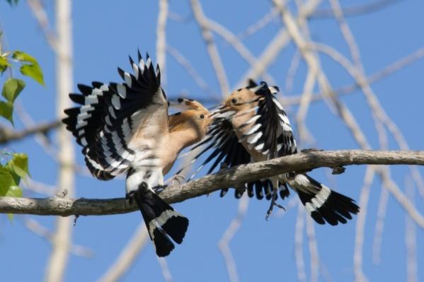 После боя птицы издают победный клич