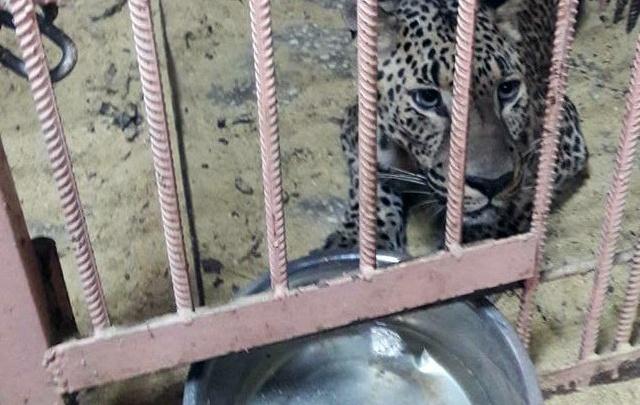 Инвалидов-хищников привезут в челябинский приют Карена Даллакяна