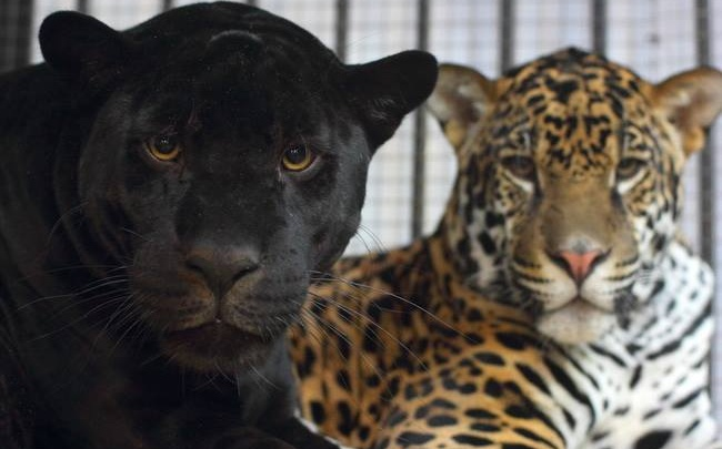 Самарцы увидят самых свирепых хищников в младенчестве: у ягуаров Кекса и Нуар родилась двойня