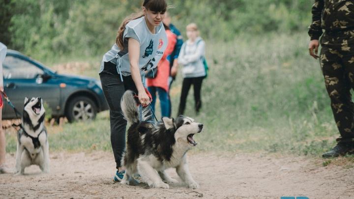 Доберман, метис и дворняга: в Тюмени состоялся чемпионат по ездовому спорту