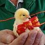 Птицефабрика «Равис»: «Мы делаем ставку на инновации в производстве»