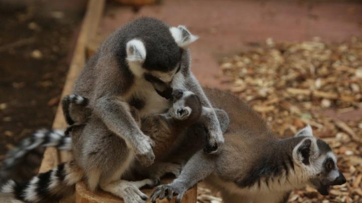 Милота зашкаливает: в Ростовском зоопарке показали новорожденного лемура
