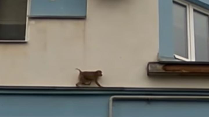 Обезьяна лазала по многоэтажке в центре Ярославля
