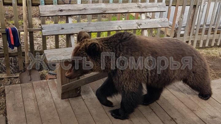 В Пинежской деревне медведь пришел во двор к людям: видео