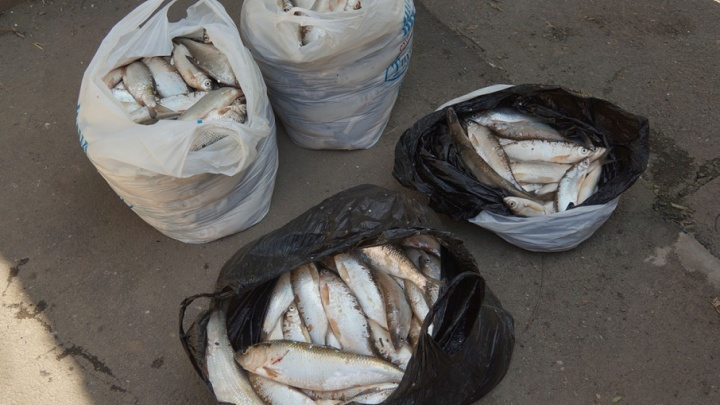 Полицейские поймали браконьеров, выловивших из Дона 480 краснокнижных шемай
