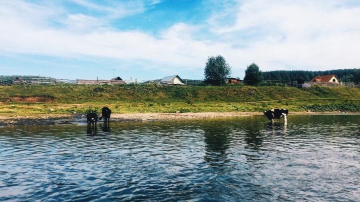В Тюменской области банда похитила 76 коров и 36 лошадей