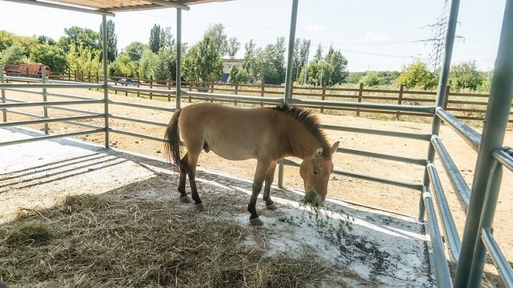 В ростовском зоопарке отремонтировали дом лошадей Пржевальского
