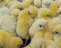 В Прикамье увеличилось поголовье скота и птицы