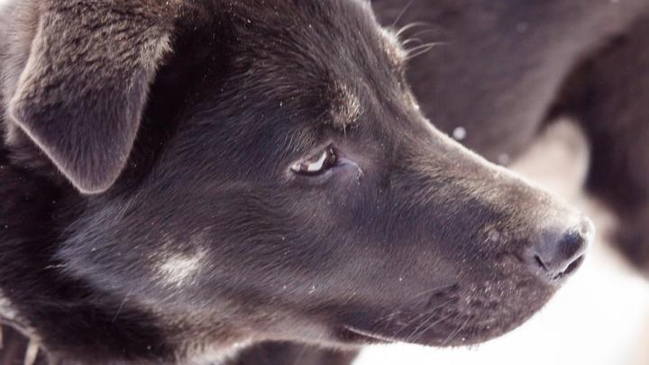 Приюты подарят собак ярославцам