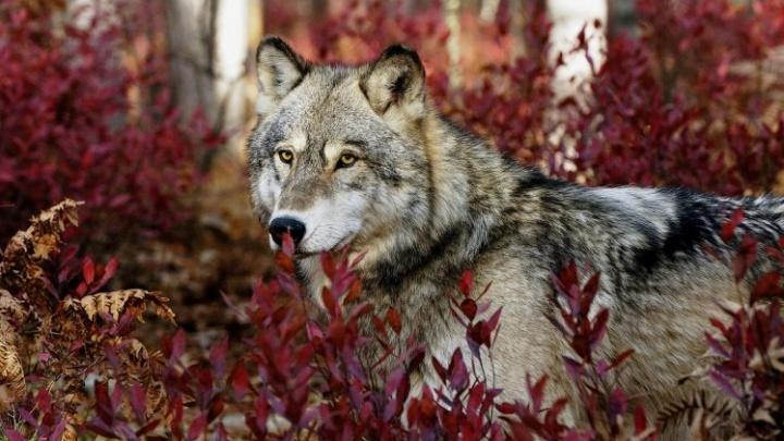 Под Северодвинском агрессивный старый волк пугает местных жителей