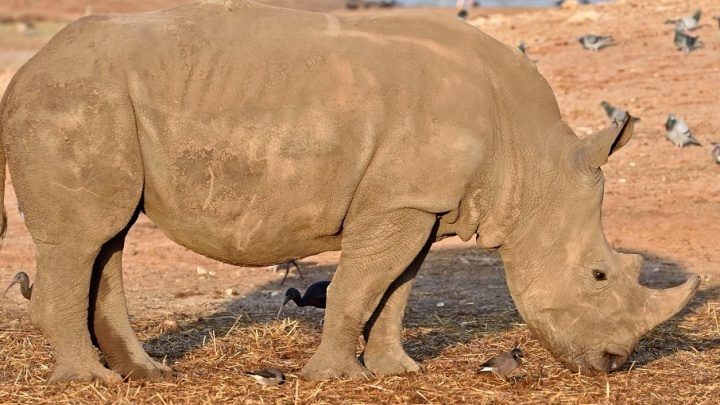 Белые носороги на самолете прилетели в Ростов