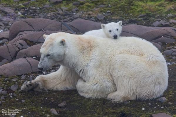 Самыми удачными портреты медведей получаются при съемке с «зодиаков» — надувных лодок