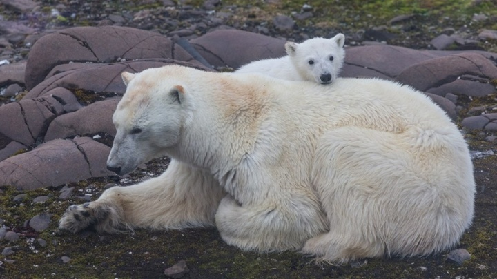 «Улыбаюсь в камеру и думаю бежать»: рассказы архангелогородцев, встретившихся с белым медведем
