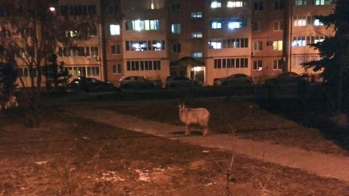 Женщин Волгограда взволновал гуляющий по городу свободный козел