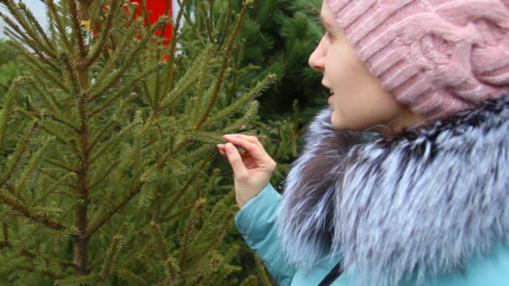 Запах хвои и цитрусовых: за что приходится переплачивать ростовчанам при покупке ели и сосны
