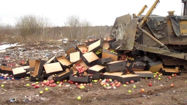В Пермском крае на полигоне уничтожено 910 кг свежих яблок из Польши